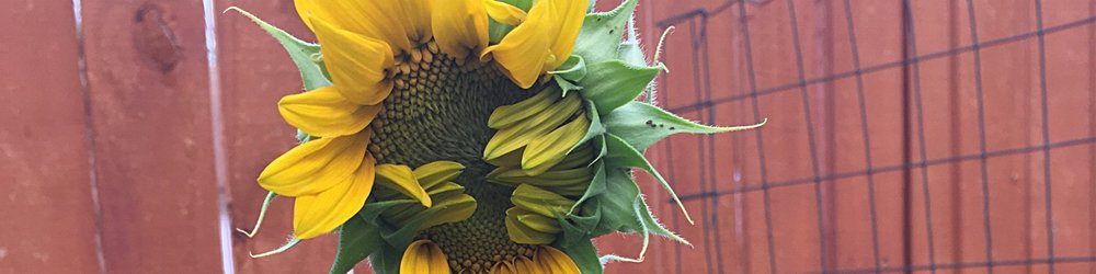 Sunflower growth (1).jpeg