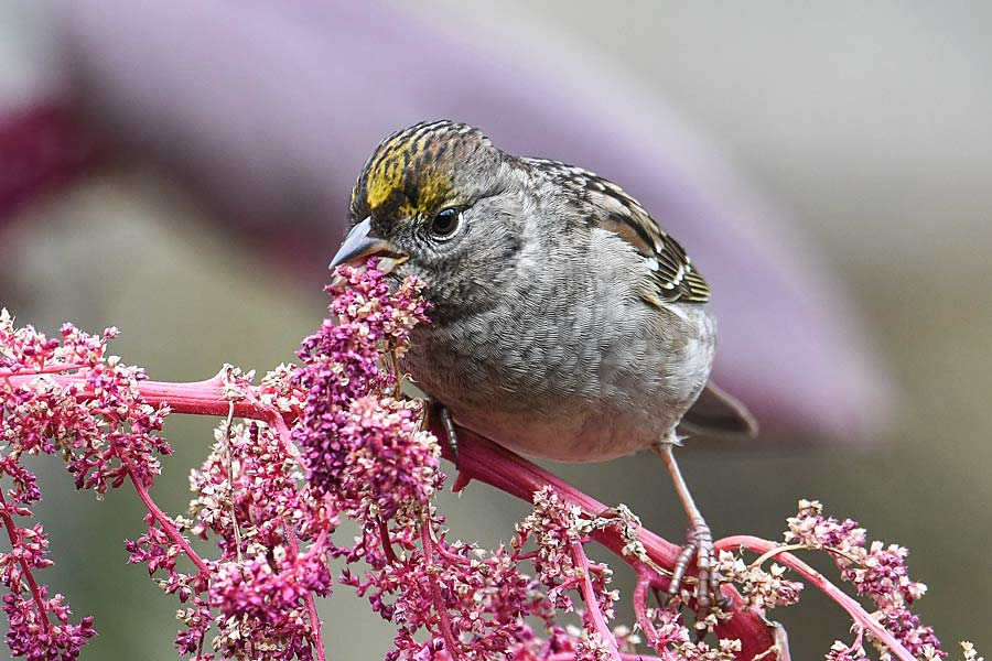 Sparrow eating amaranth (1).jpg