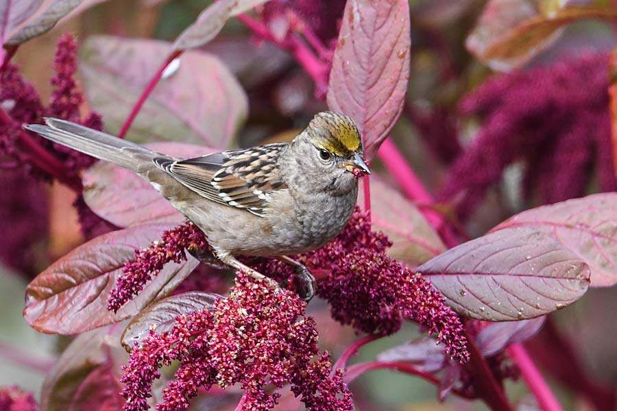 Sparrow eating amaranth (2).jpg