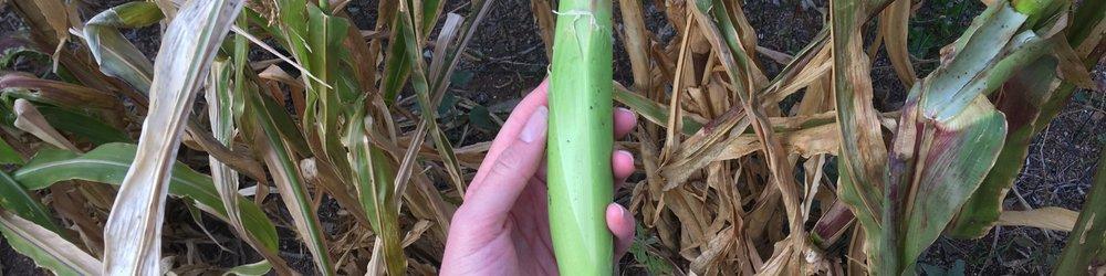 Corn harvest (2).jpeg