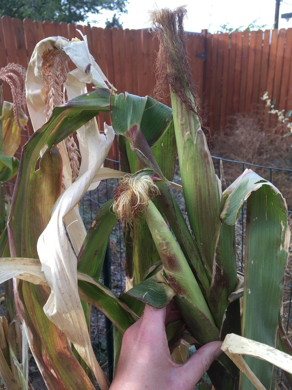 Corn harvest (1).jpeg