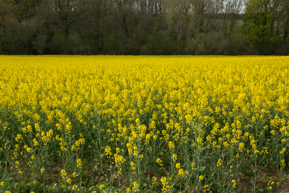 I just don't understand why it's called rapeseed.