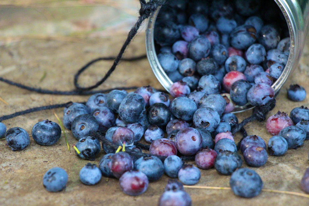 The Harvest! A coffee can and a string make the perfect blueberry bucket!