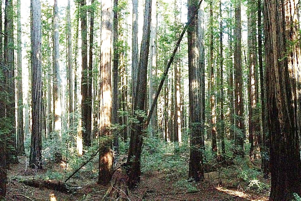 California Redwoods.jpg