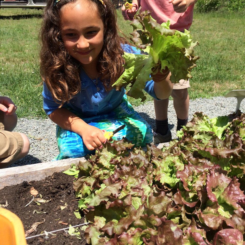 Ella Zarcone Harvesting Salad Beeman Elemenatary Gloucester.jpg