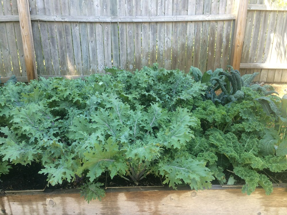 Kale Growing at Action Emergency Shelter