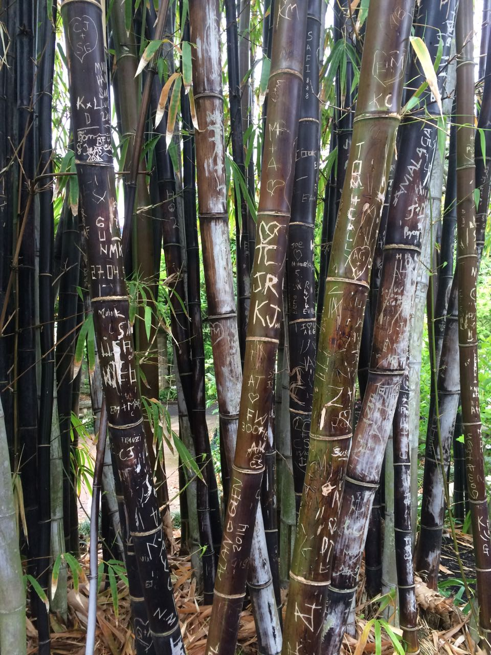 Bamboo at Botanical Gardens.jpg