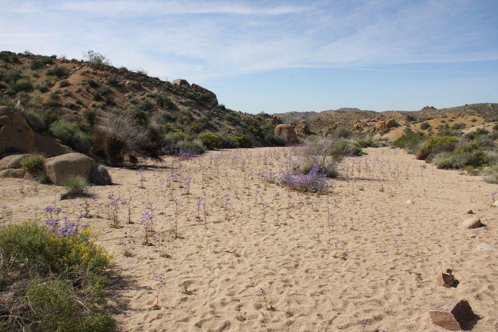 Purple Flower Sand Meadow Joshua Tree.jpg