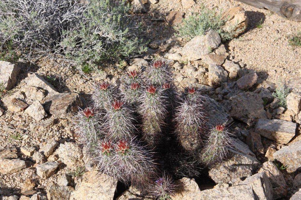 Red topped cacti joshua tree.jpg