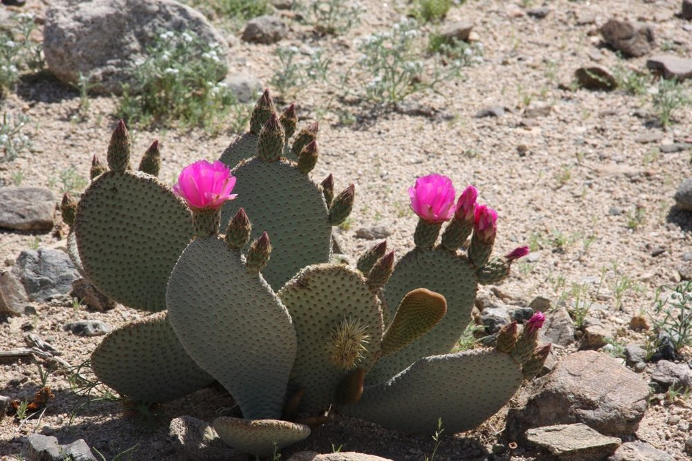 Pink Flowered Cactus