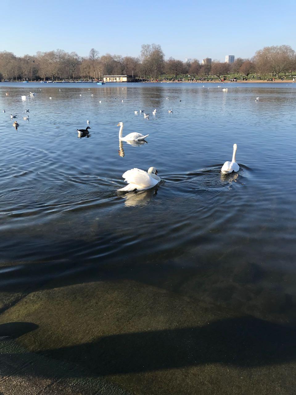 Ducks in Hyde Park.jpg