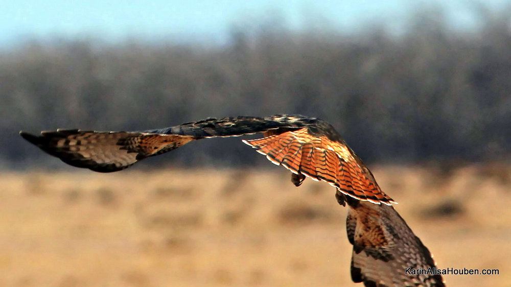 karin-alisa-houben-red-tail-hawk-on-the-wing