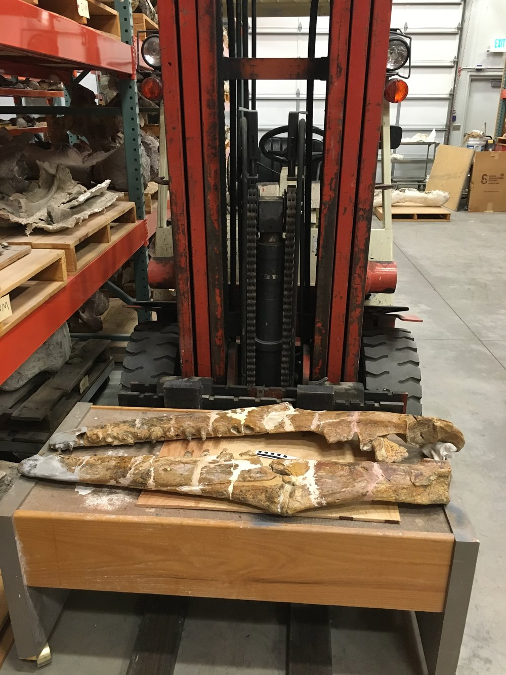 The jaws of  Prognathodon stadtmani,  on a forklift at BYU Museum of Paleontology.