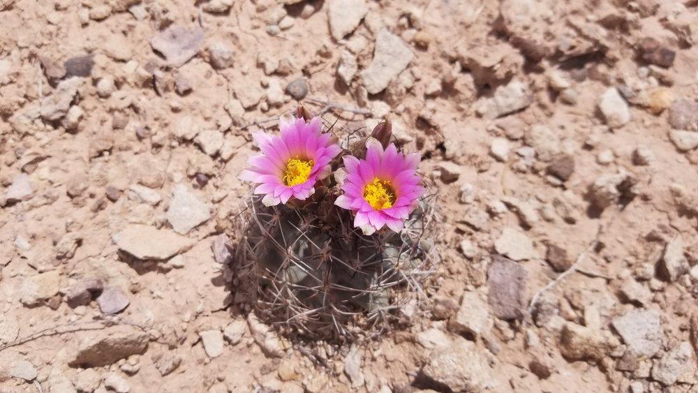 CO hookless cactus DENCA.jpg