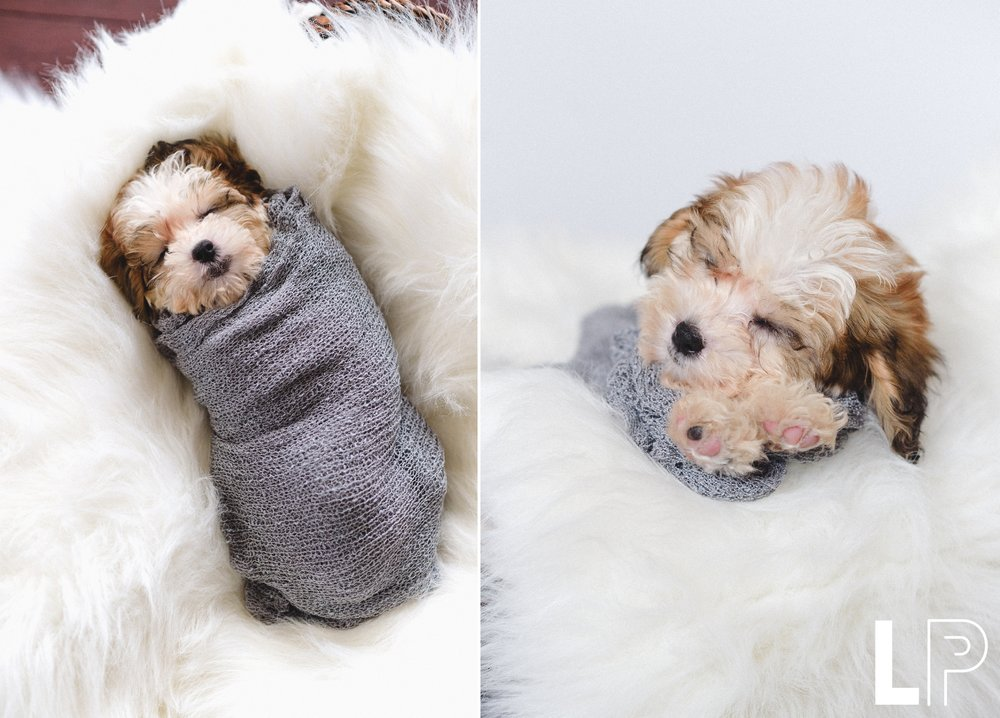Newborn_Puppy_session