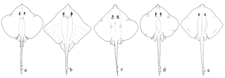 Fig. 1 : Compared drawings of the five species of  Bathyraja  from New Zealand - a :  B. asperula , b :  B. richardsoni , c :  B. shuntovi , d :  B.   spinier , e: B. transpicia.