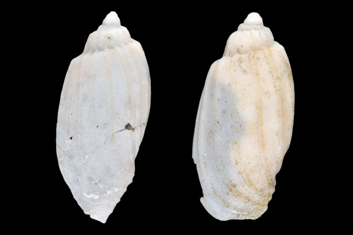 Harpa gracils shells in poor condition from Tikehau (left) and Mataiva (right)