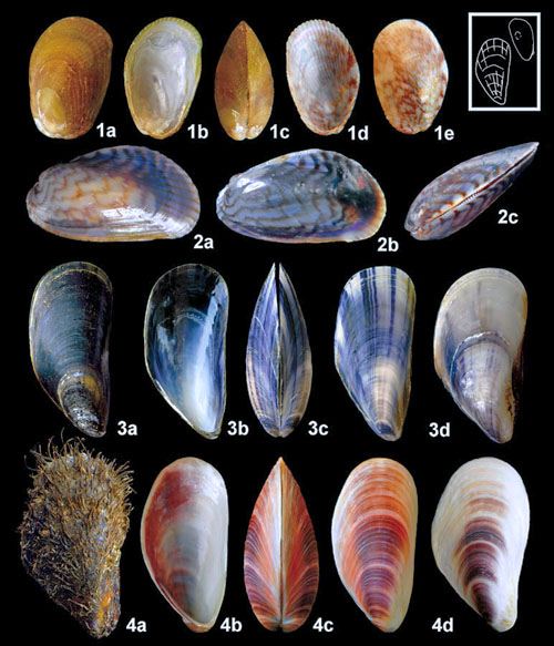 seashells-france-atlantic-mussels-modiolus-mytilus-musculus-shell-species.jpg