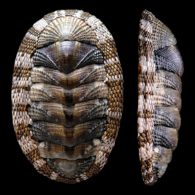 sypharochiton-pelliserpentis-chiton-species-new-zealand-polyplacophora.jpg
