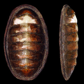eudoxochiton-nobilis-chiton-species-new-zealand-polyplacophora.jpg