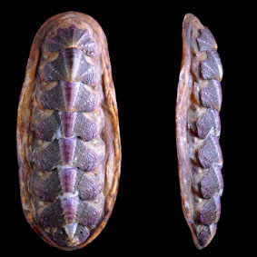 notoplax-violacea-chiton-species-new-zealand-polyplacophora.jpg