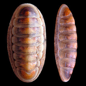 ischnochiton-cariosus-chiton-species-new-zealand-polyplacophora.jpg
