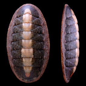 ischnochiton-maorianus-chiton-species-new-zealand-polyplacophora.jpg