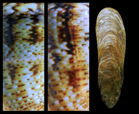 C. guanche, details of typical patterns and operculum