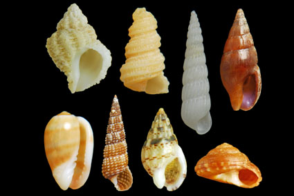 From left to right : Coralliophila meyendorffii / Mathilda quadricarinata / Turbonilla lactea / Mitrella minor / Gibberula miliaria / Bittium reticulatum / Nassarius cuvierii / Philippia hybrida
