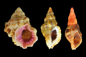 From left to right : Bursa thomae / Ocinebrina edwardsii / Charonia variegata juvenile