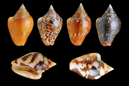 Top : Variations of Columbella rustica / Bottom : Columbella striata
