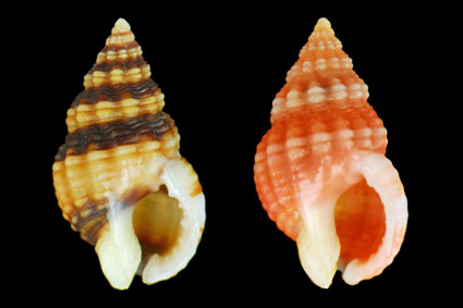 Nassarius incrassatus / Rare orange form on the right