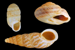 Top left : Gibbulinella dealbata / Top right : Hemicycla glasiana / Bottom : Napaeus moquinianus