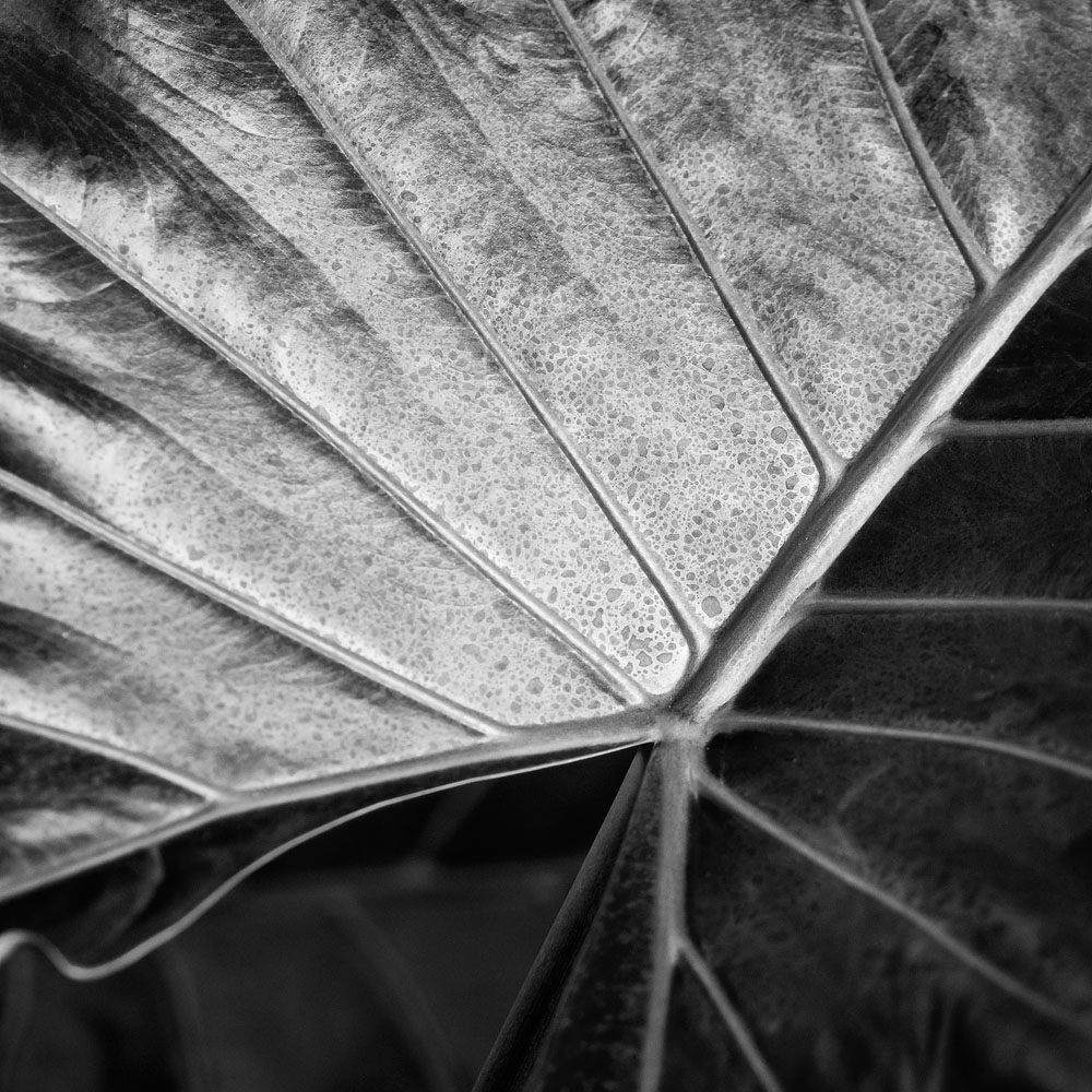 Big Island leaf two