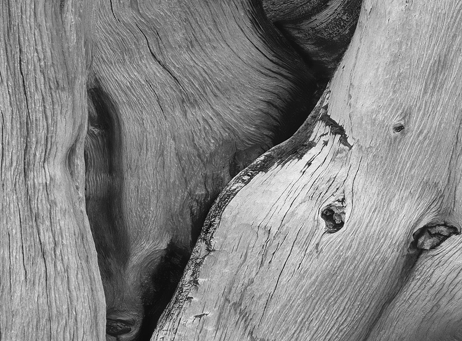 bristlecone detail two