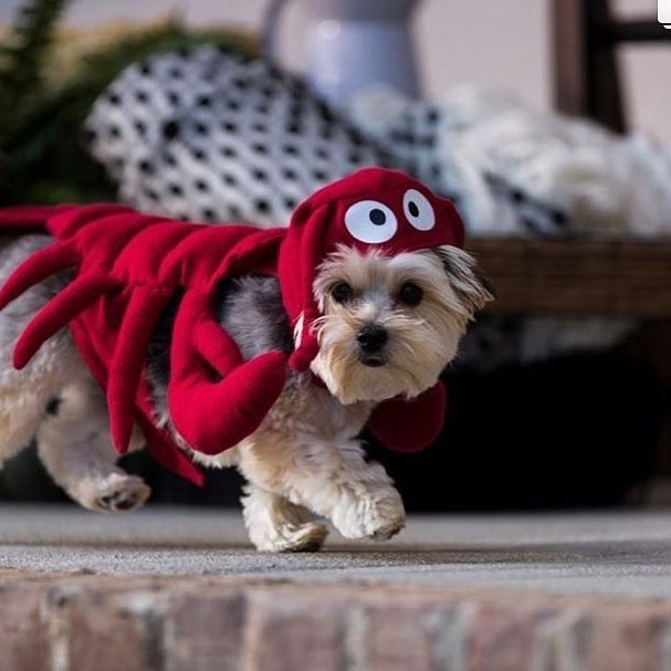 A fun photo I took for @officialcricut for our Halloween shoot. @apartment_413 has the best dog model. I love photographing pets! 😀 #petcostume #lobsterdog #cricutmade