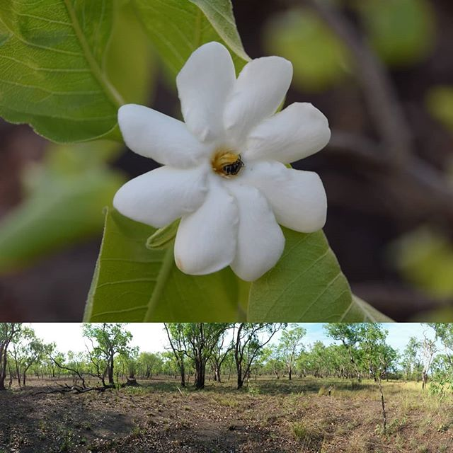 The sites on Kakadu National Park form part of the Northern Australian Tropical Transect (NATT). This transect samples the temperature and rainfall gradient that stretches from Darwin to Newcastle Waters. It is one of four such transects across Australia that have AusPlots method sites.  #soilscience #basalarea #research #savannah #fireecology #invertebrates #pointintercepttransect #researchinfrastructure #wehaveyourdata #tern_au #freelyavailsbledata #soilandveg #soilbulkdensity #vegetationstructure #kakadunationalpark #plantgenomics #plantgenetics #plantisotopes #leafareaindex #herbariumsamples