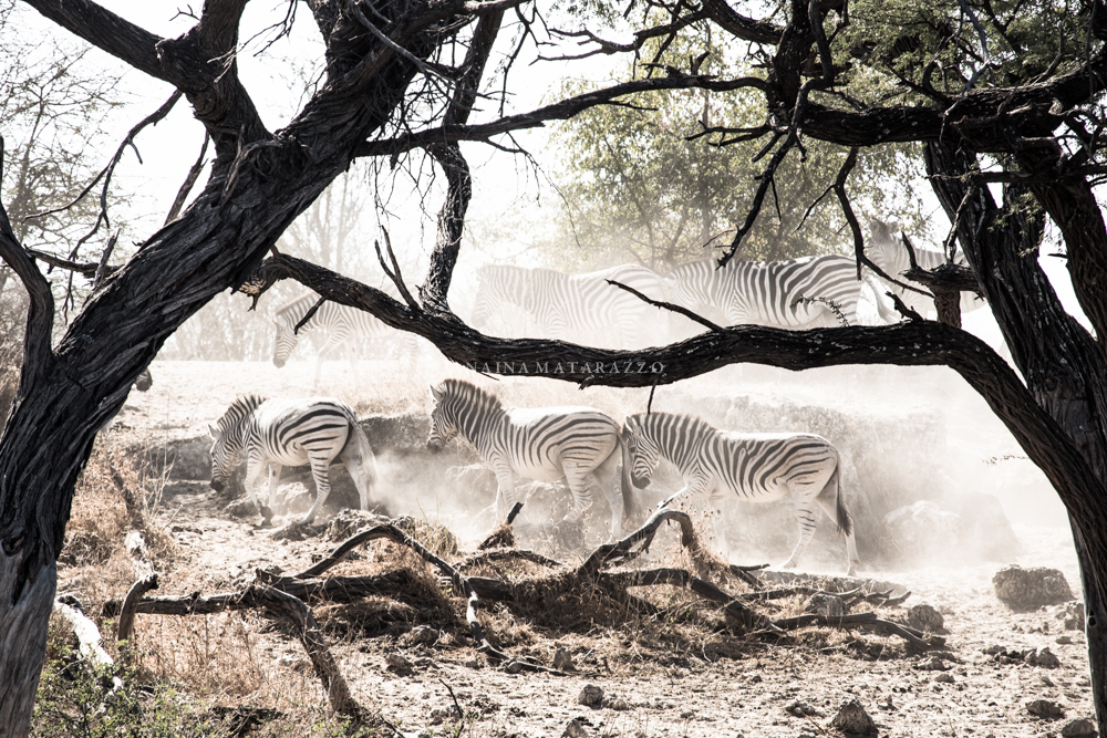 movement of zebras and trees.jpg