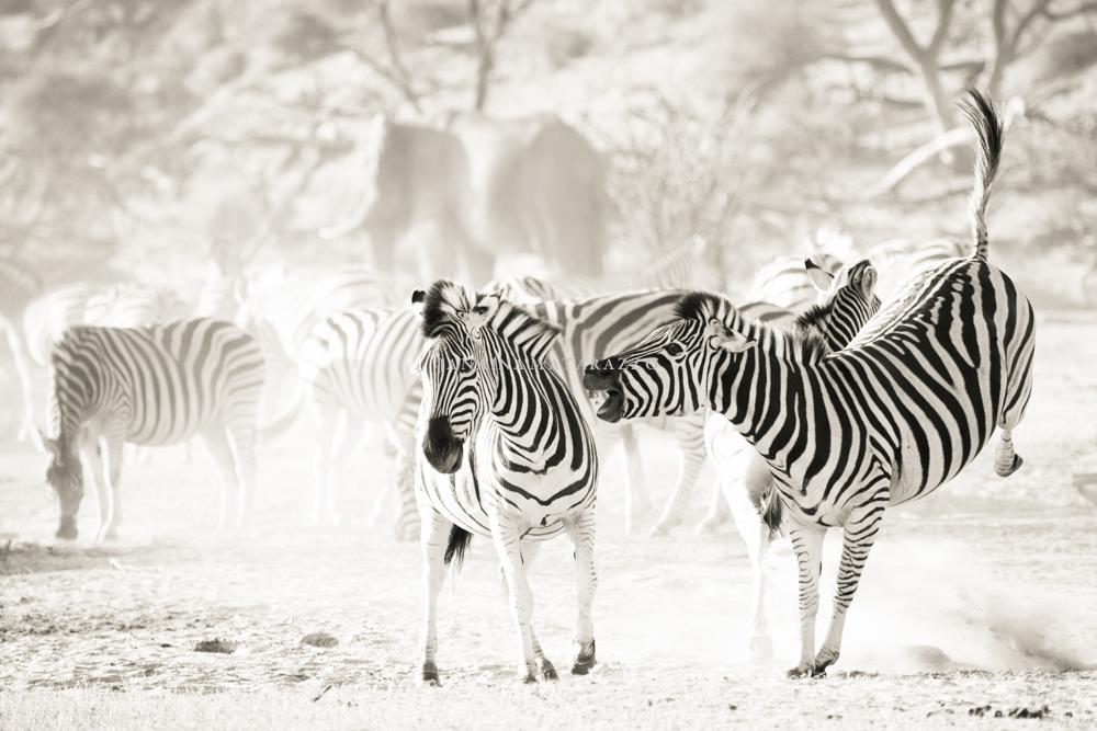 wild zebras.jpg