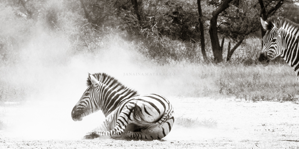 zebra playing with sand.jpg