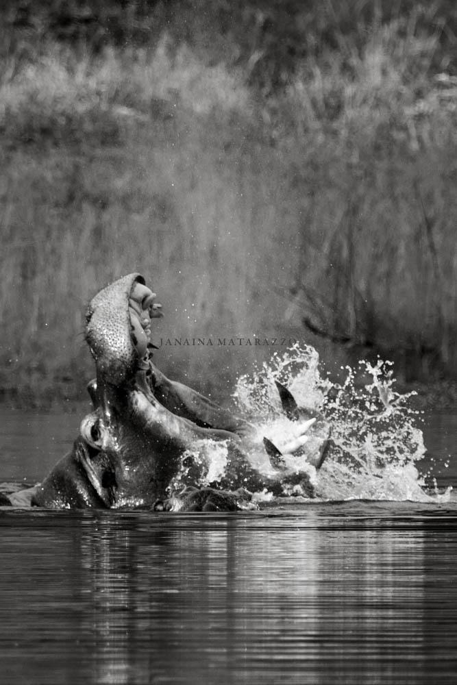 a furia do hipopotamo.jpg