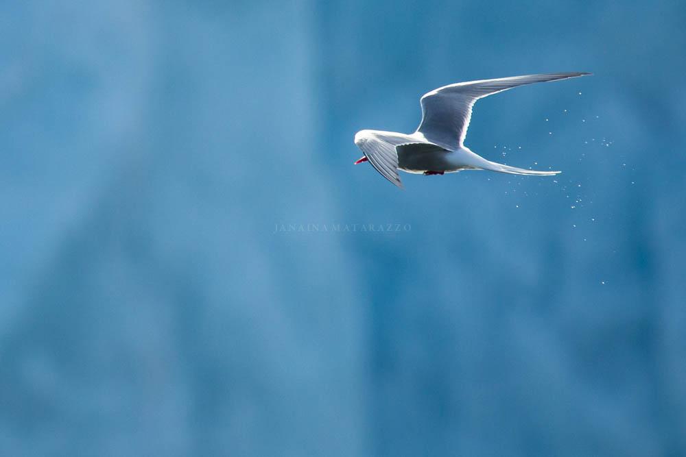 arctic tern paradise.jpg