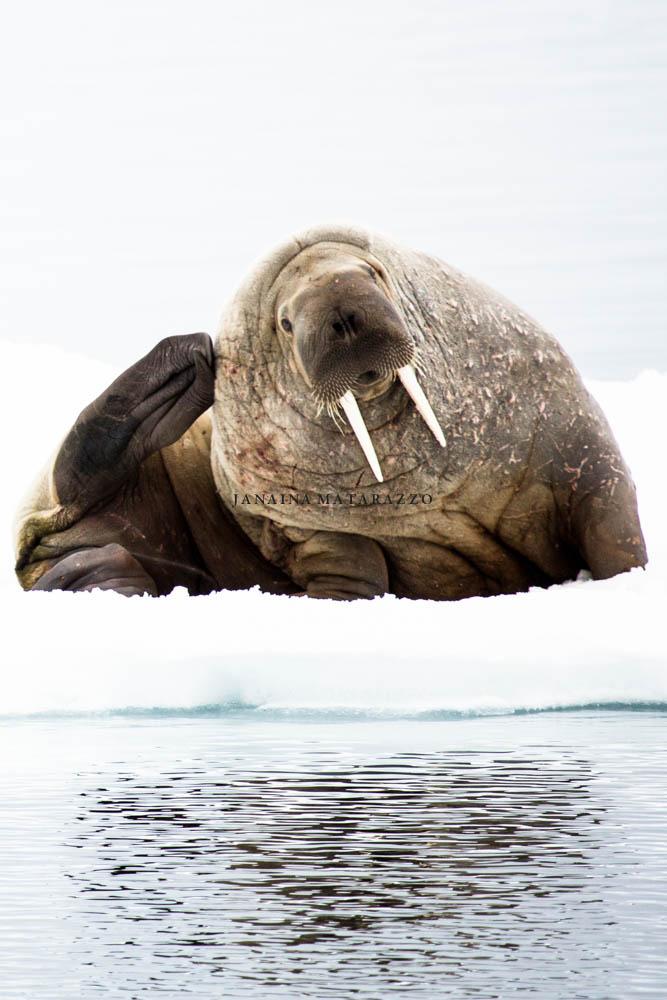 walrus model.jpg