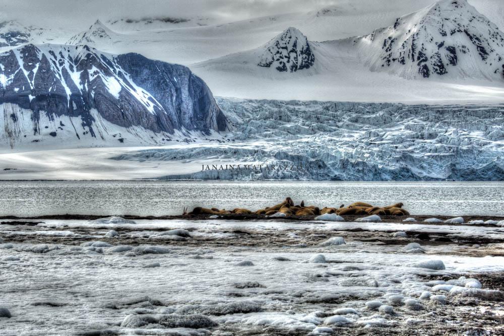 svalbard walruses.jpg
