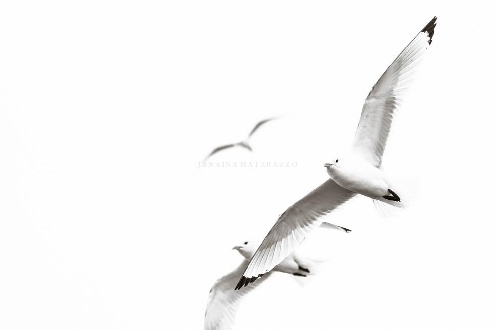 gaivotas do artico.jpg