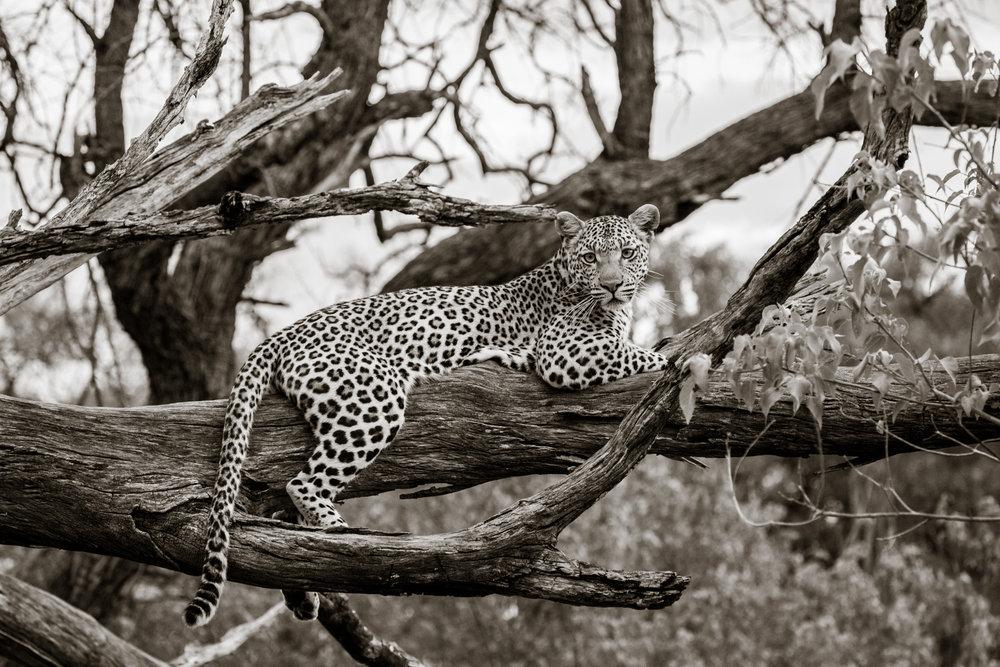 janaina matarazzo_leopard resting in a tree_large_no watermark.jpg
