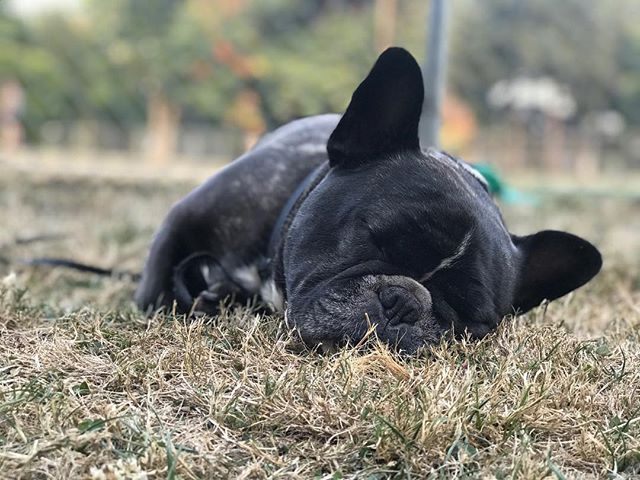 Dog days of summer. #FosterWalter #frenchie