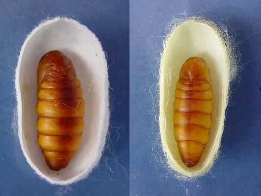 silk worms