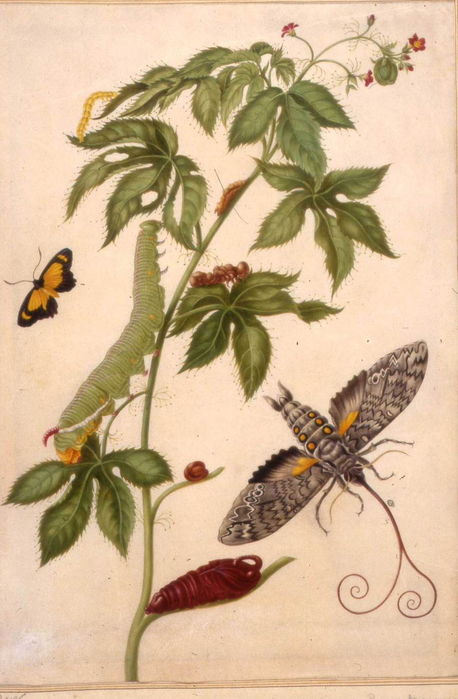 A sprig from a plant with small red flowers  [Jatropha gossypifolia] . The large green caterpillar became the liver-coloured chrysalis then the large grey moth with six orange/yellow spots on its body  [Cocytius antaeus] ; a yellow butterfly.  Maria Merian, the first European naturalist to take note of and include all life stages of the butterfly in a single picture plane. Plate 38    Metamorphosis insectorum Surinamensium,  1705.