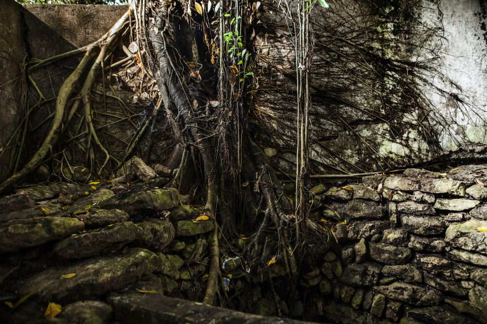 Banyan trees roots dig inside the sacred well.